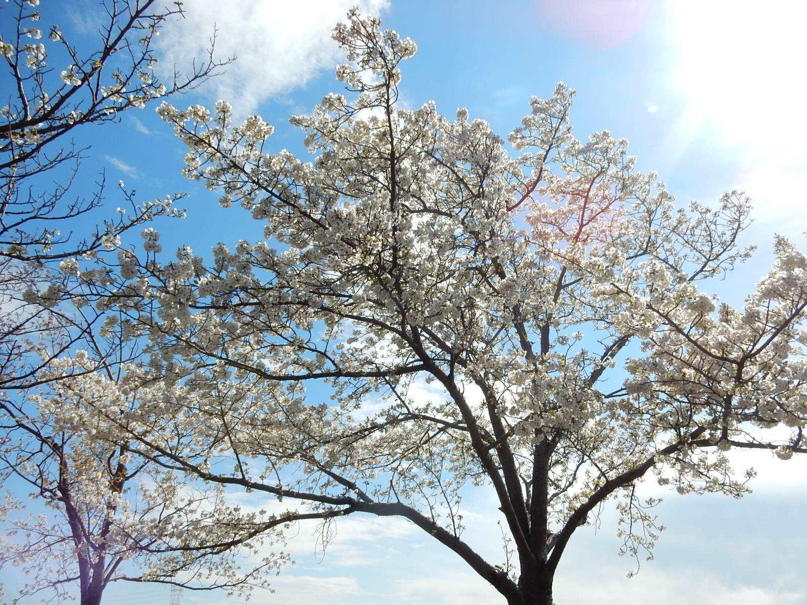 別の場所の桜