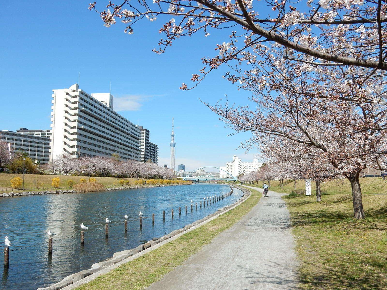 旧中川と桜