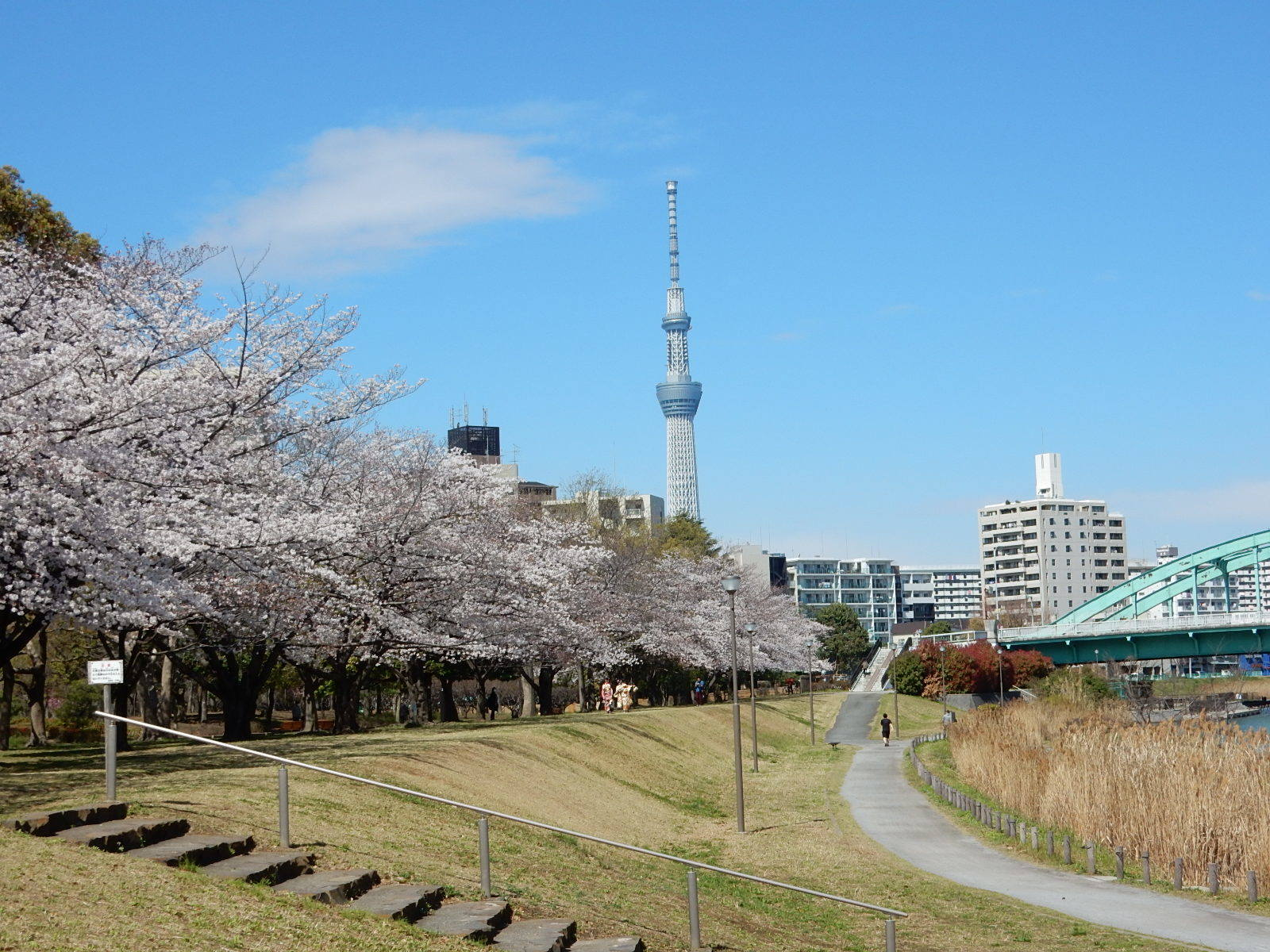 旧中川河川敷の桜
