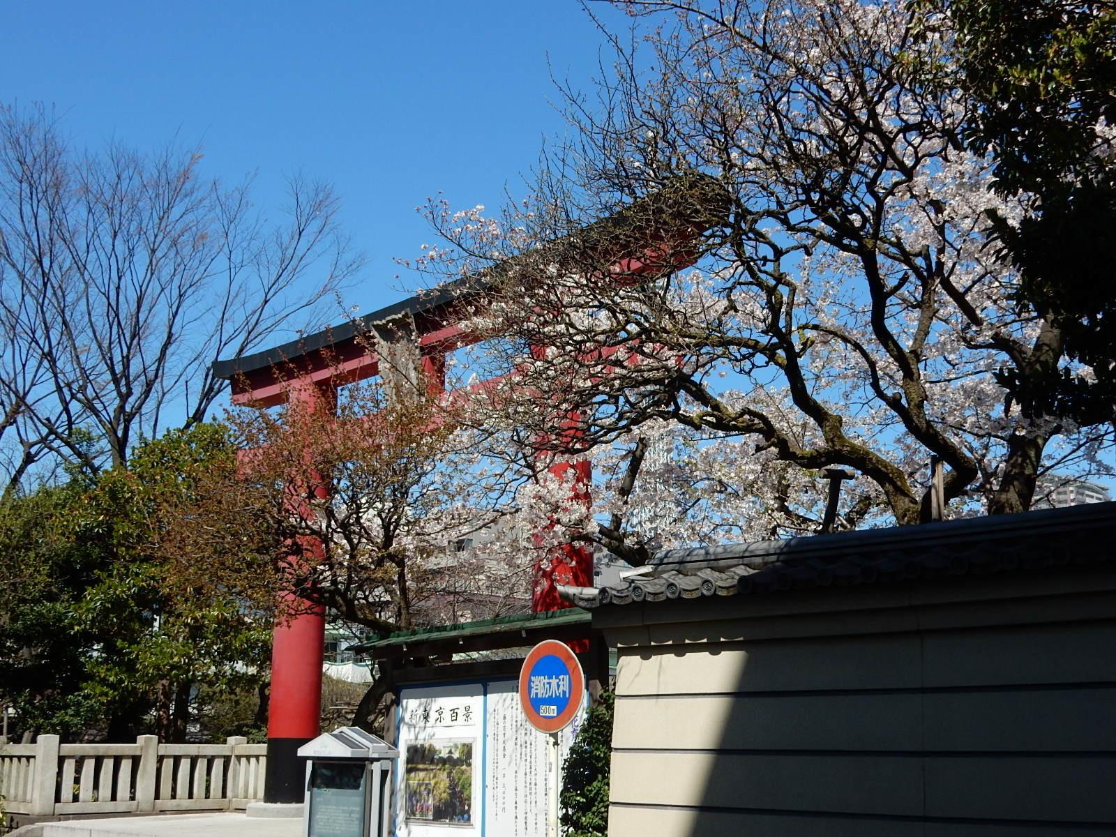 亀戸天満宮の鳥居と桜