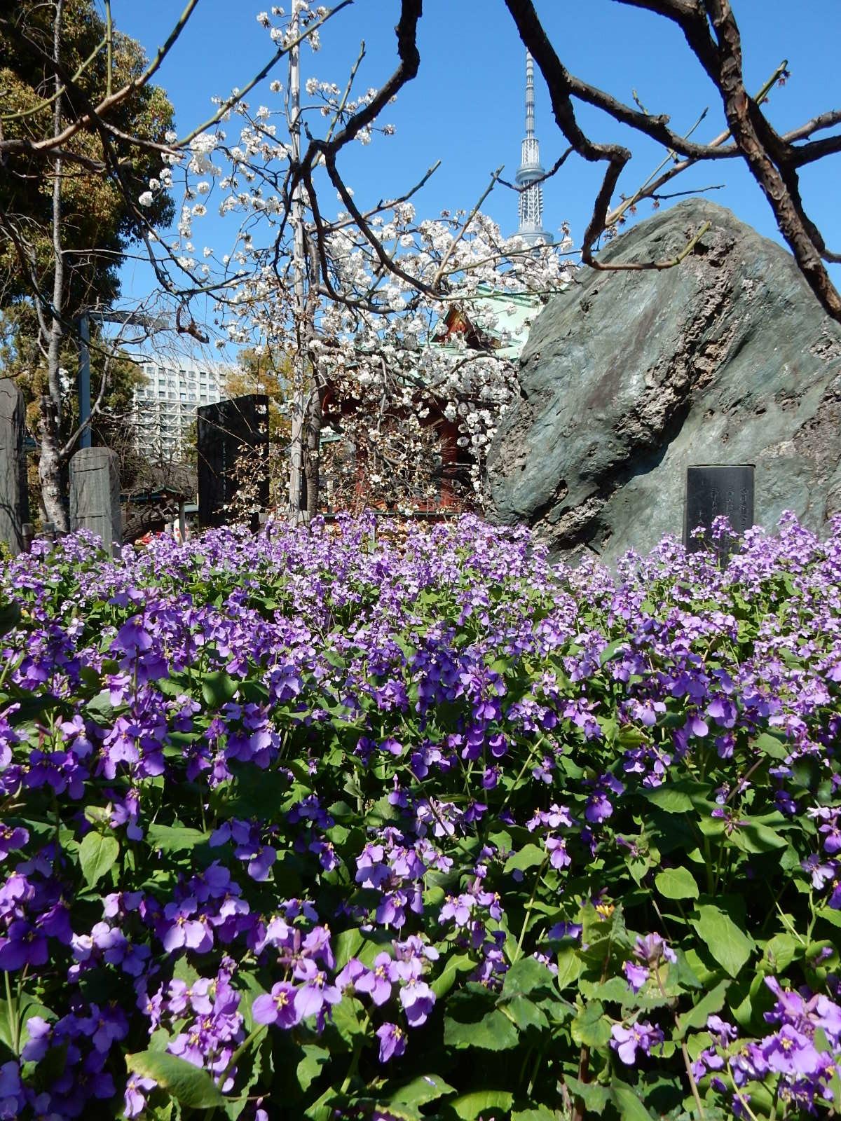 亀戸天満宮本殿と桜