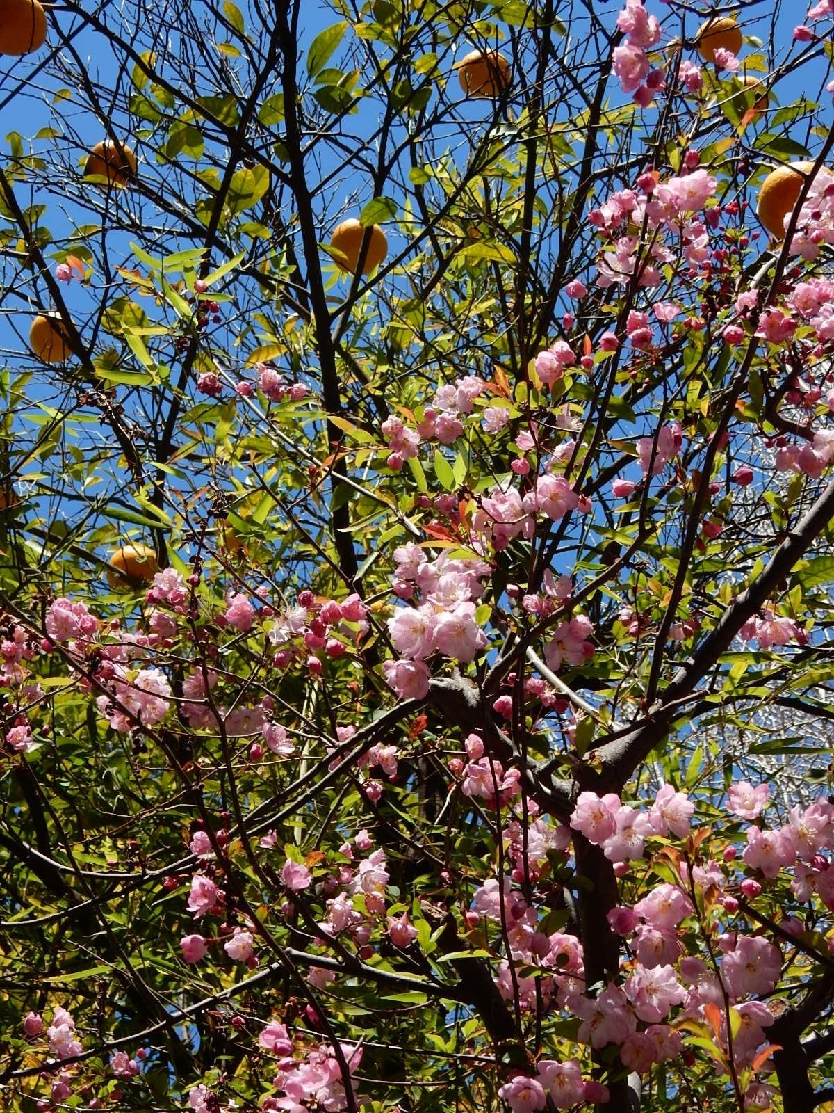 桜と柑橘類の実