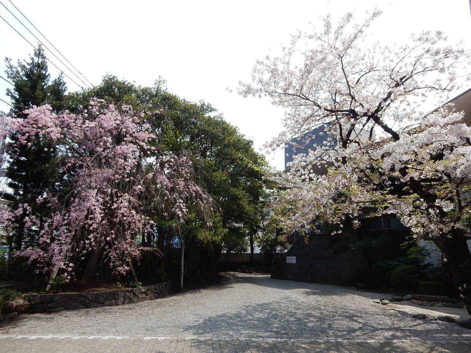枝垂れ桜と白い桜