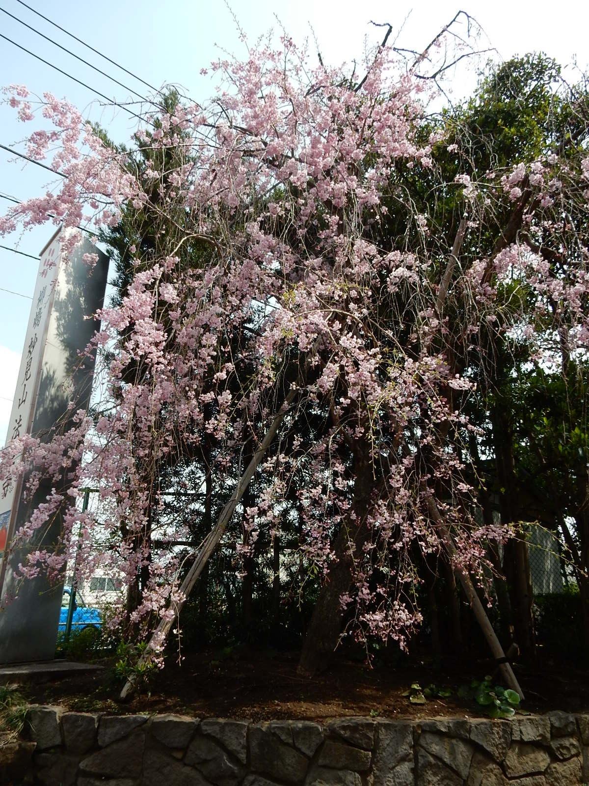 其の枝垂れ桜