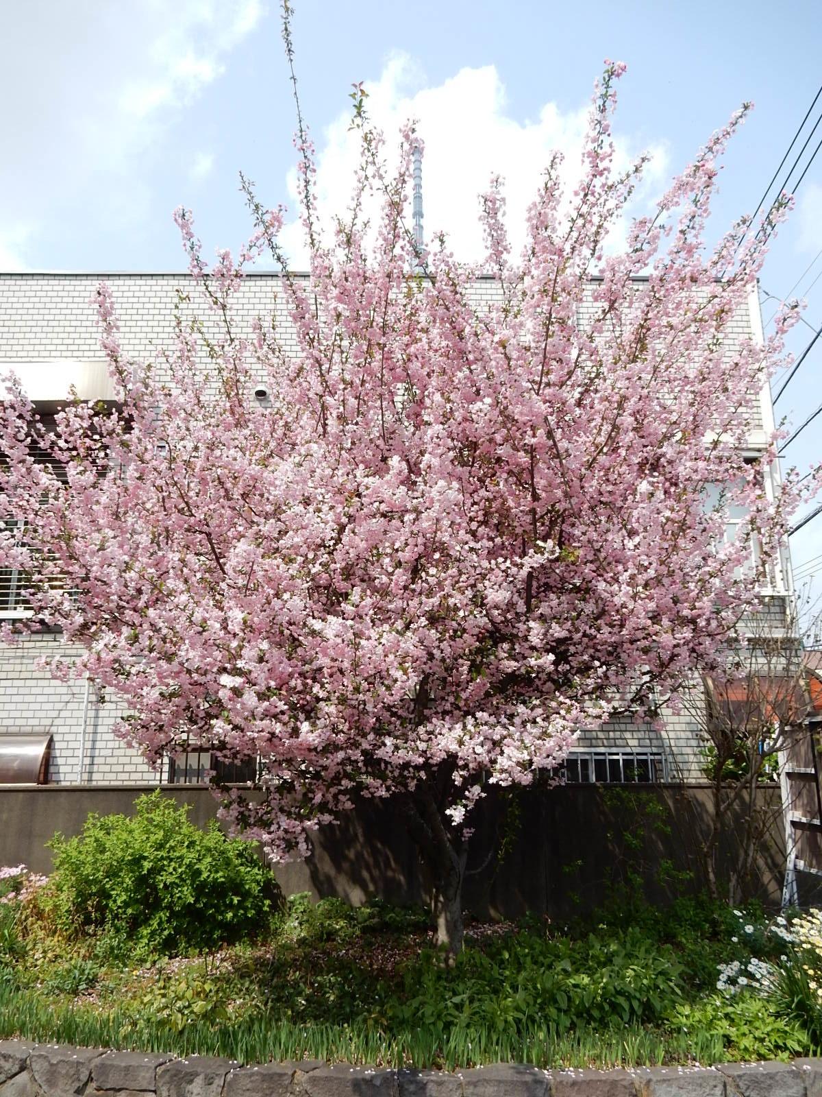 直ぐ傍には桃色の強い桜