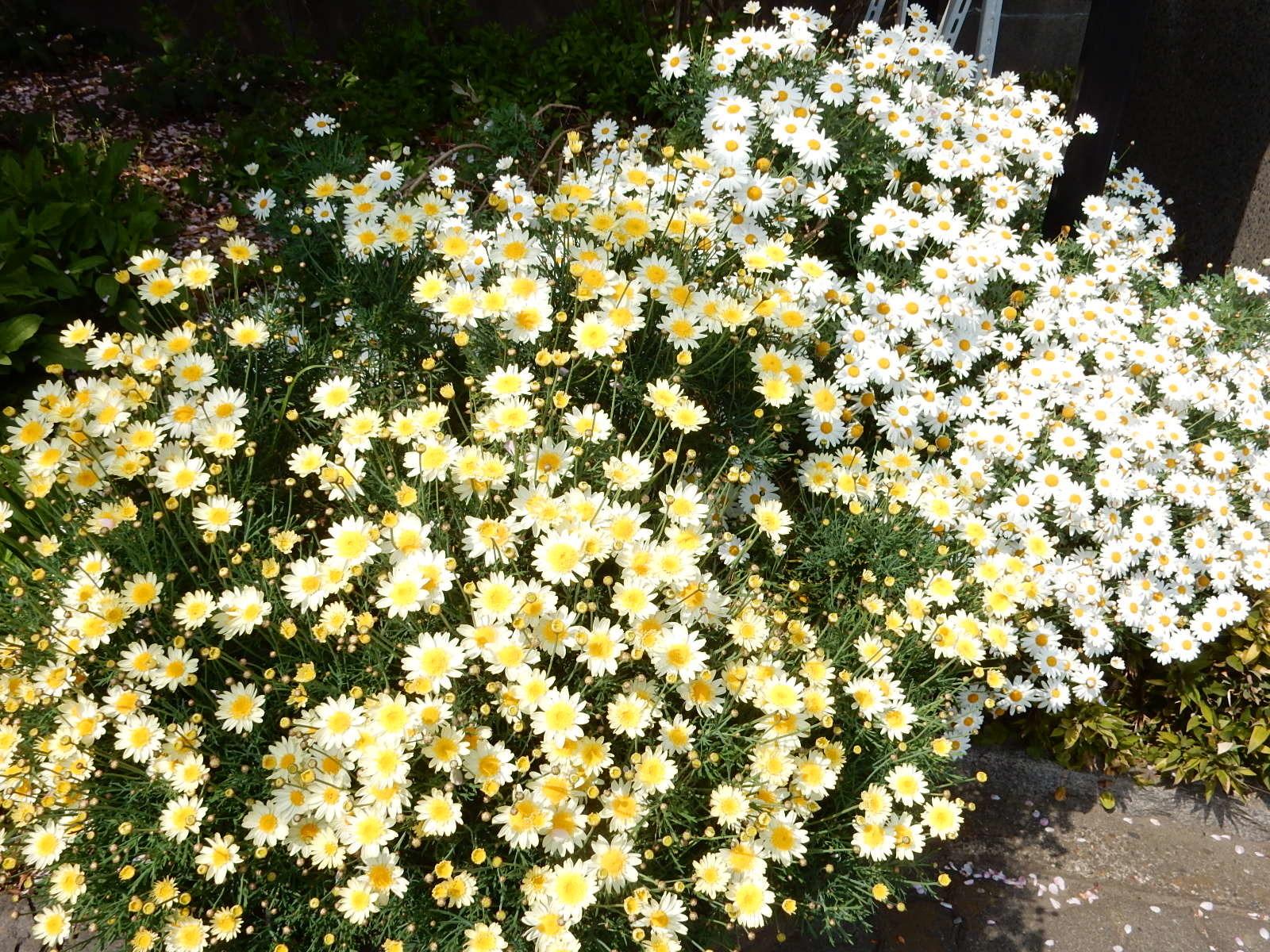 二色の木春菊