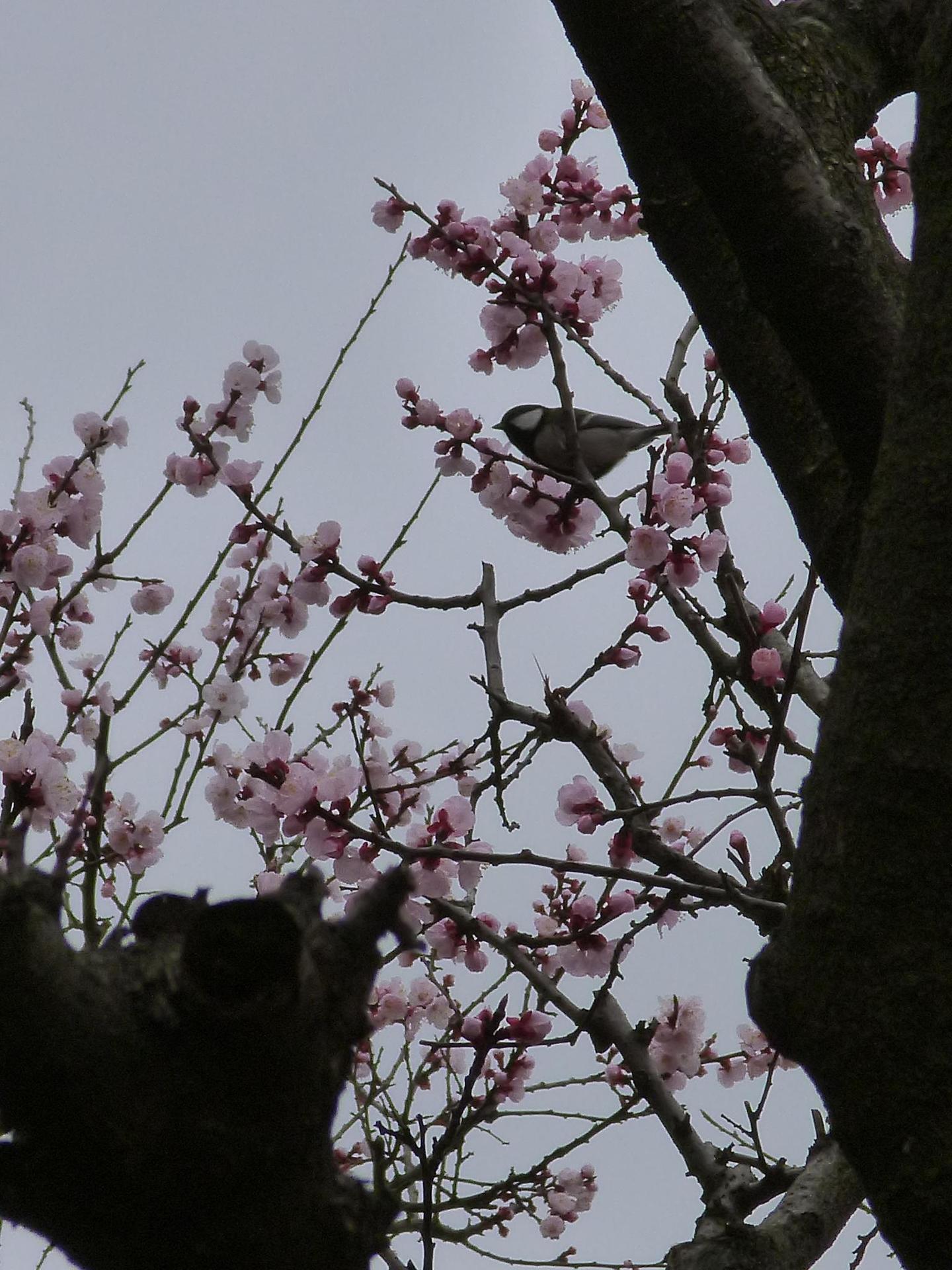 杏の花と四十雀