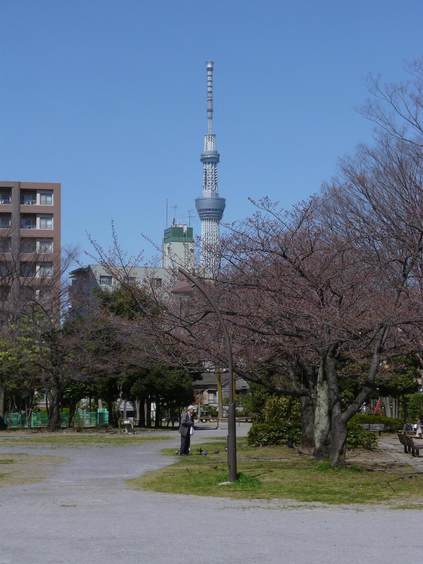 東京スカイツリーと桜の木