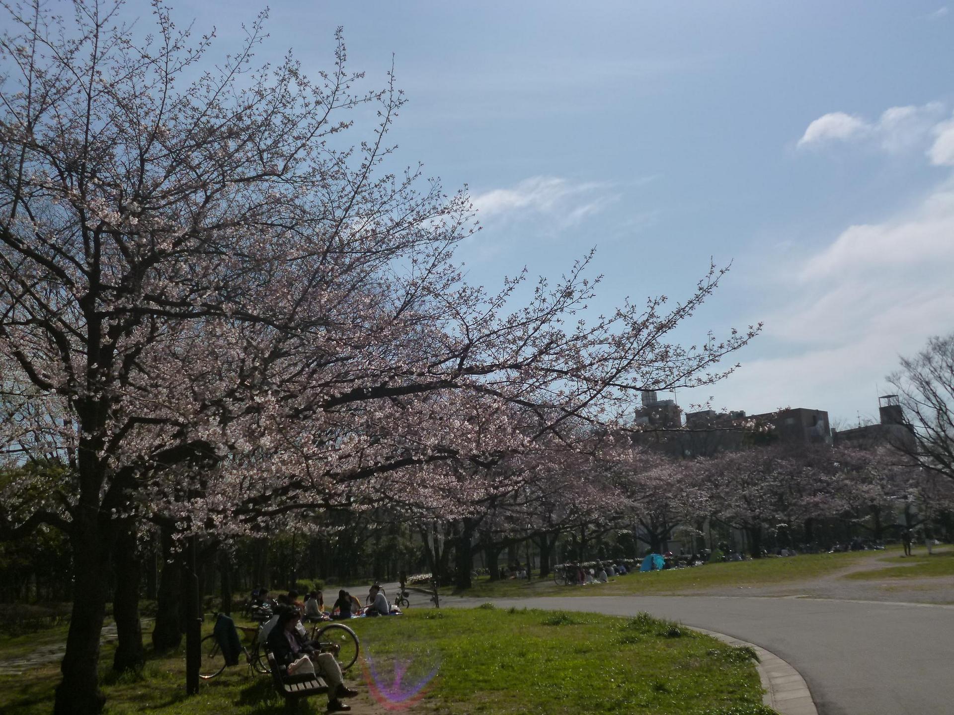 亀戸中央公園A地区の桜