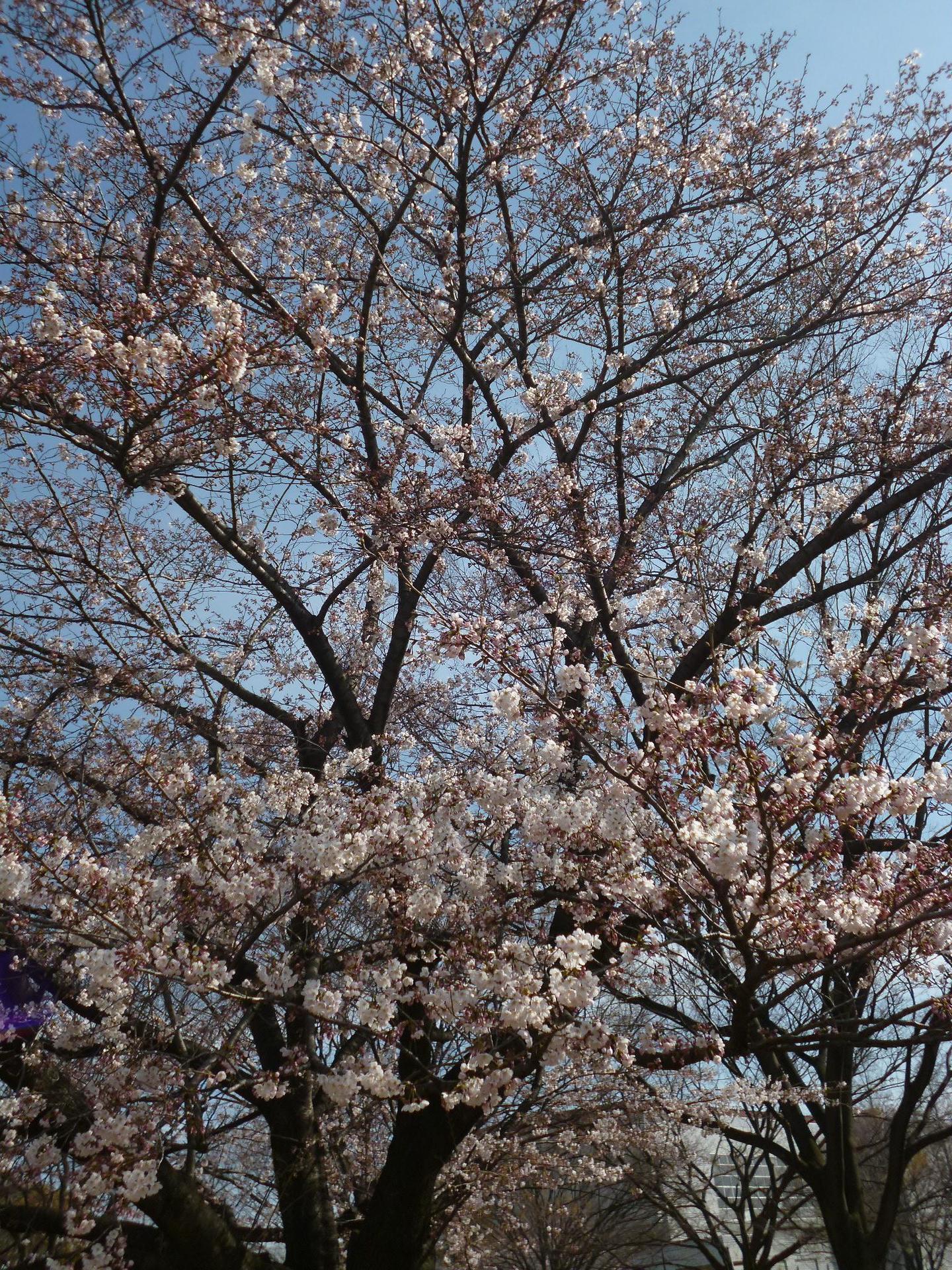 桜の花近影