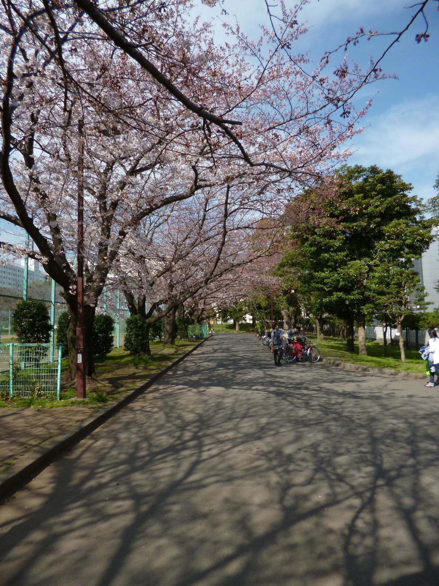 亀戸中央公園C地区の多目的広場横の桜並木