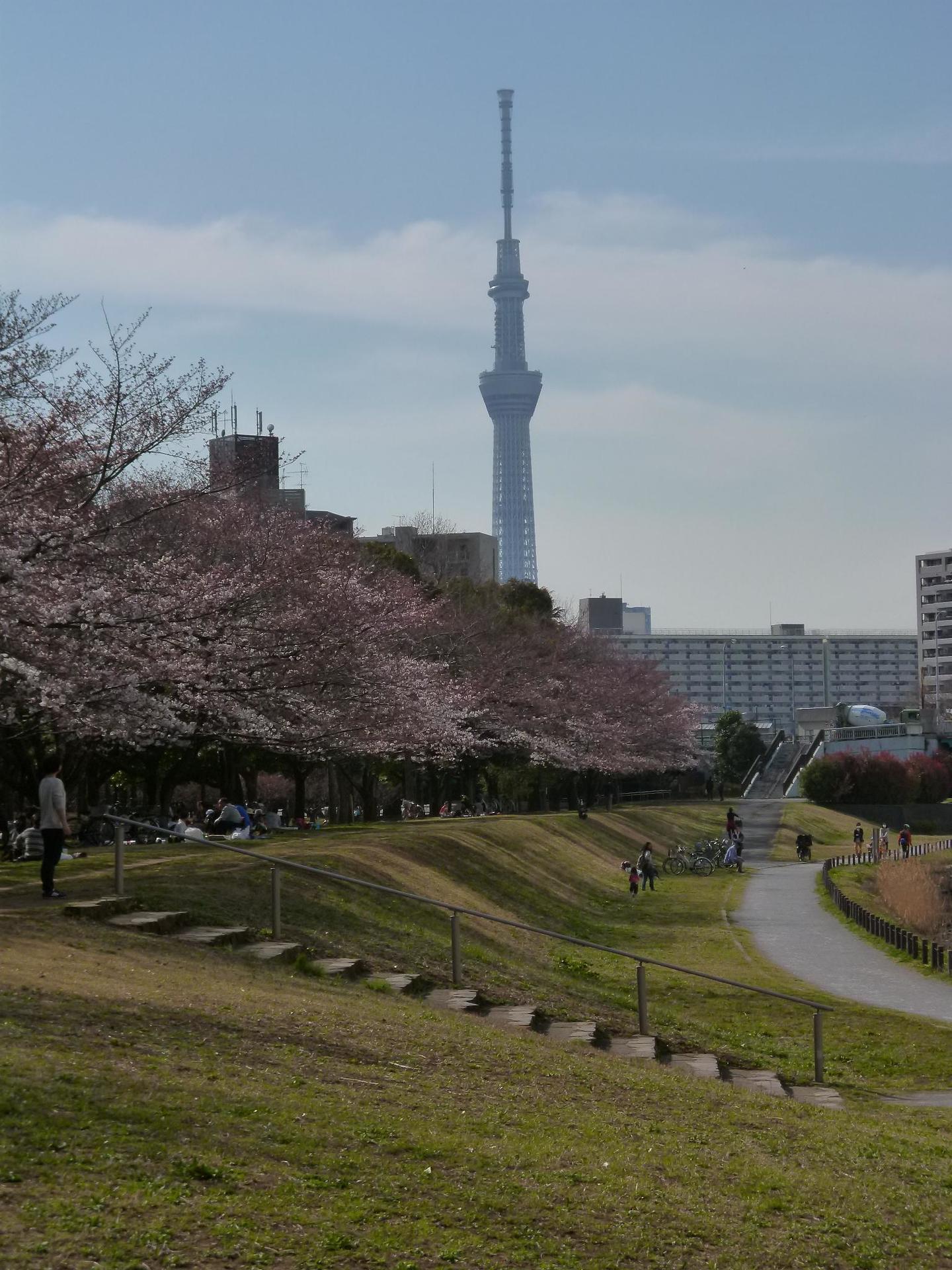 旧中川沿いの亀戸中央公園B地区横からの桜並木
