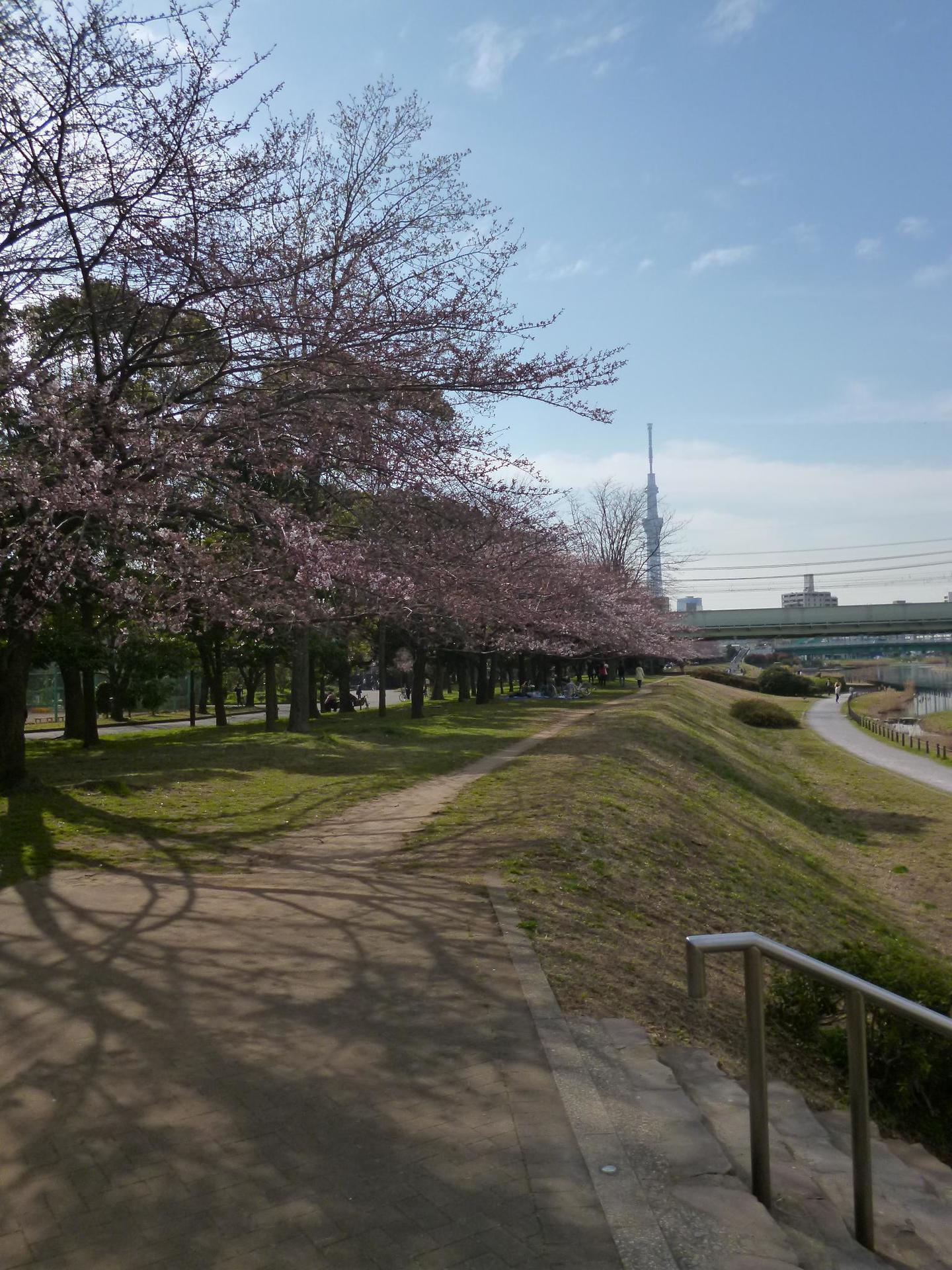 旧中川沿いの亀戸中央公園C地区横からの桜並木