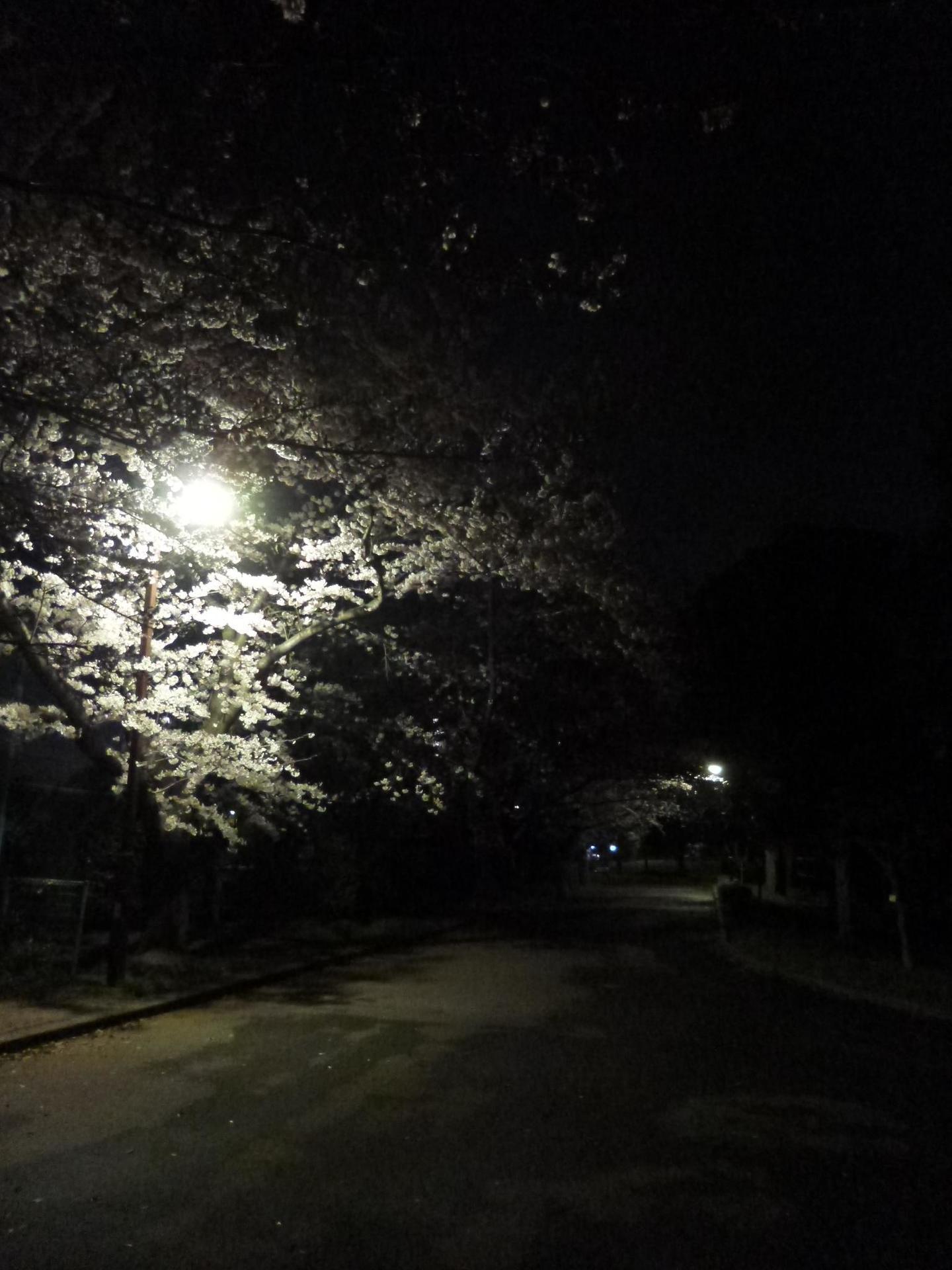 亀戸中央公園C地区の夜桜