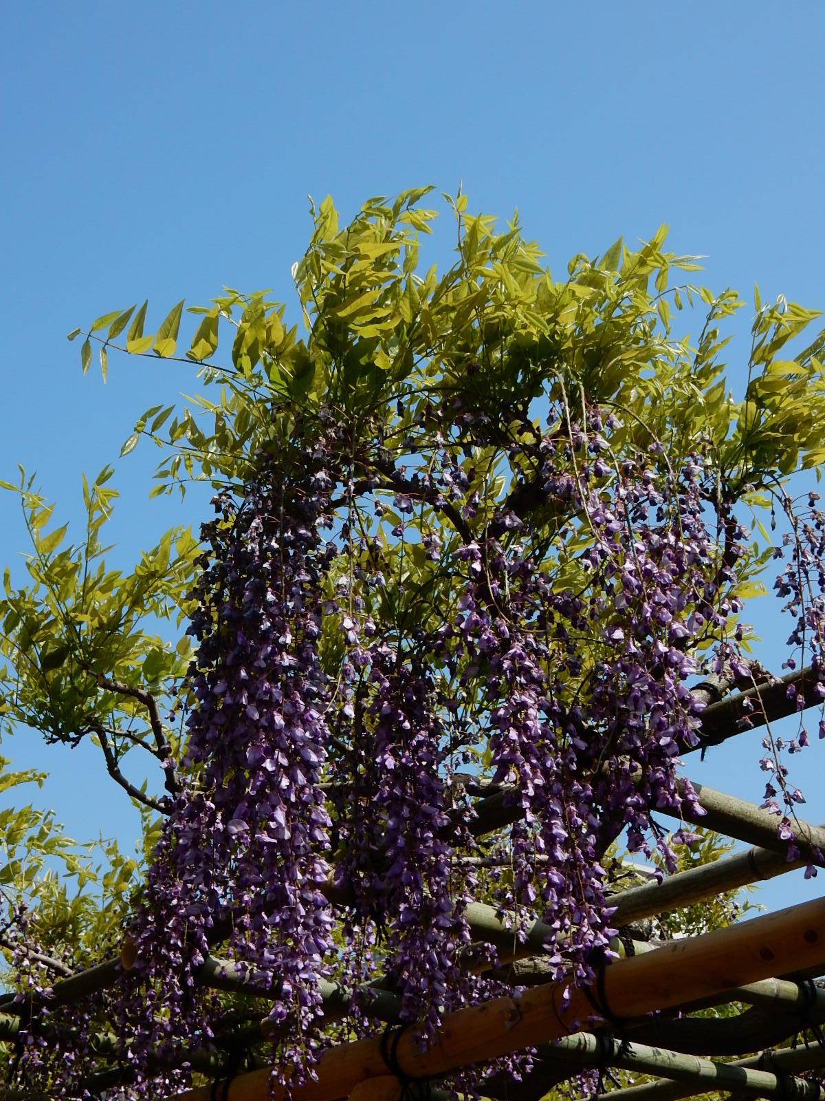 青空と藤の花