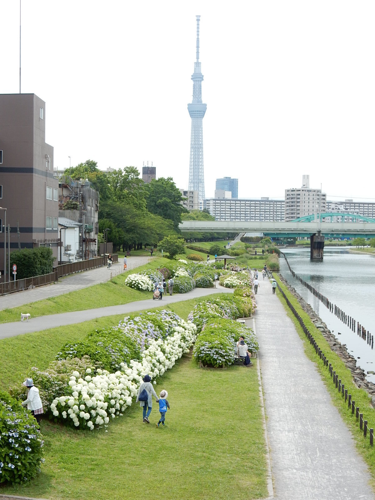 旧中川河川敷の紫陽花