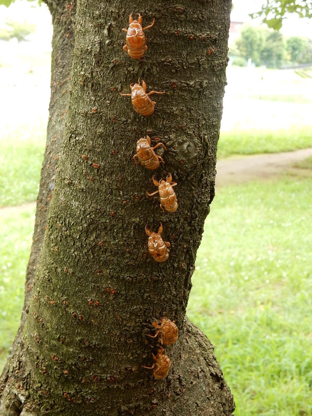 蝉の集団羽化の痕跡2