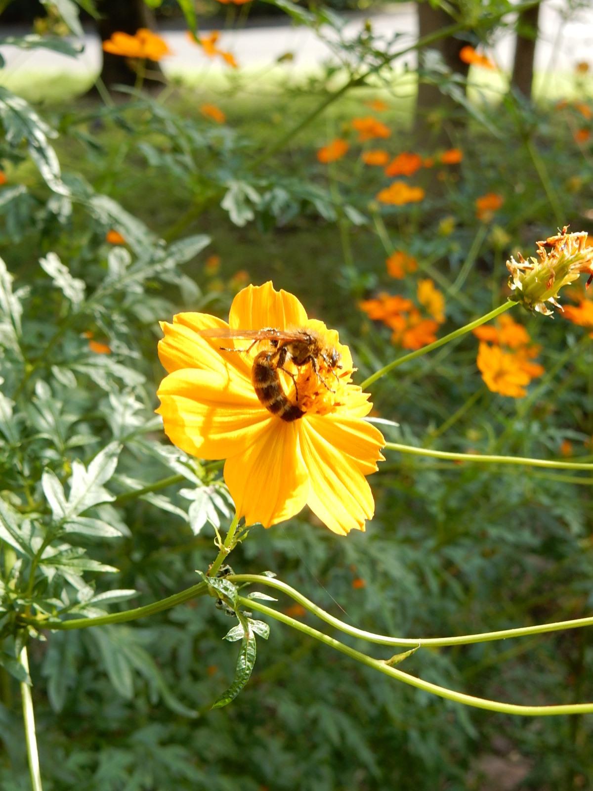 黄花秋桜と日本蜜蜂