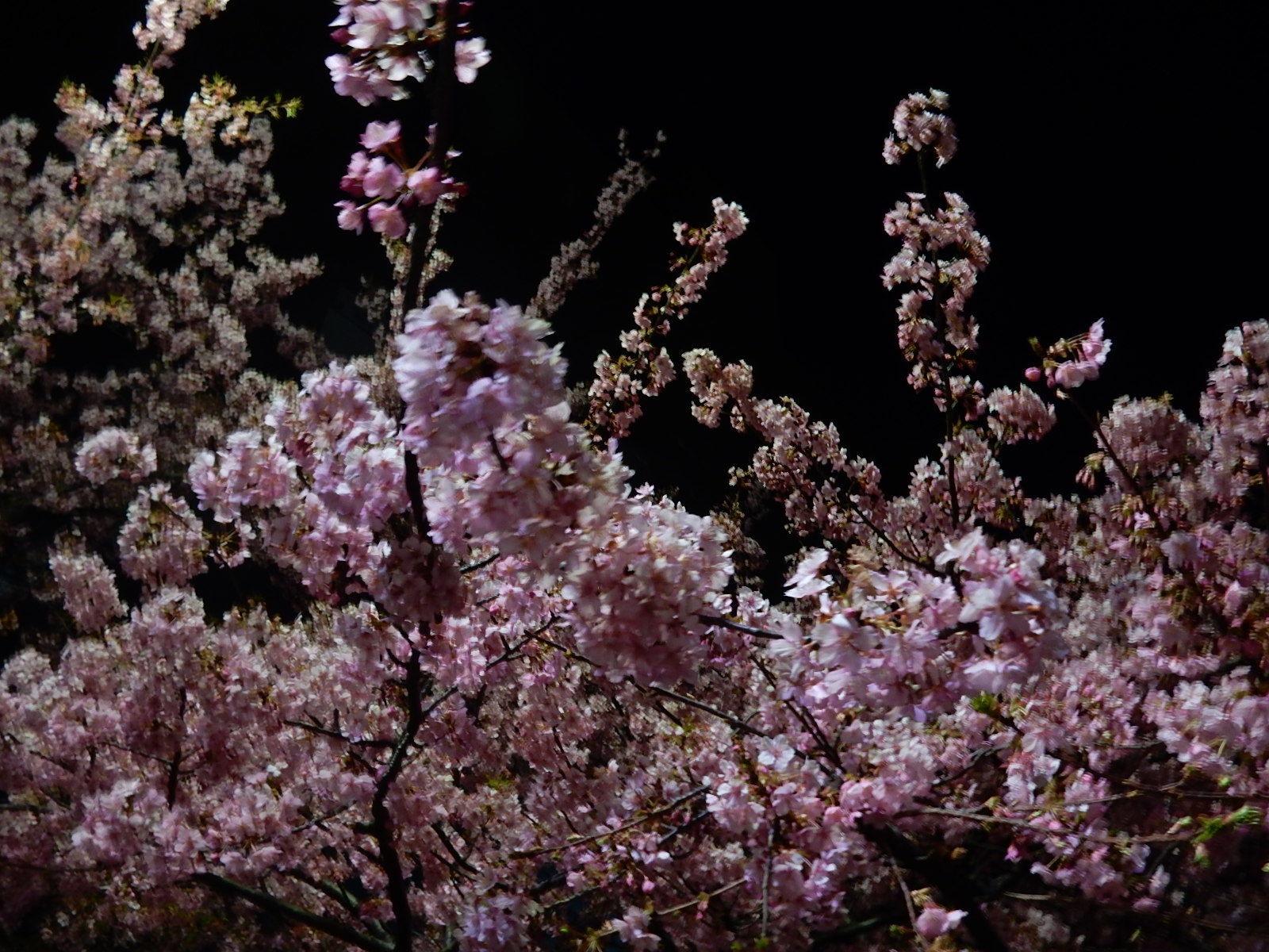 真夜中の満開の河津桜1