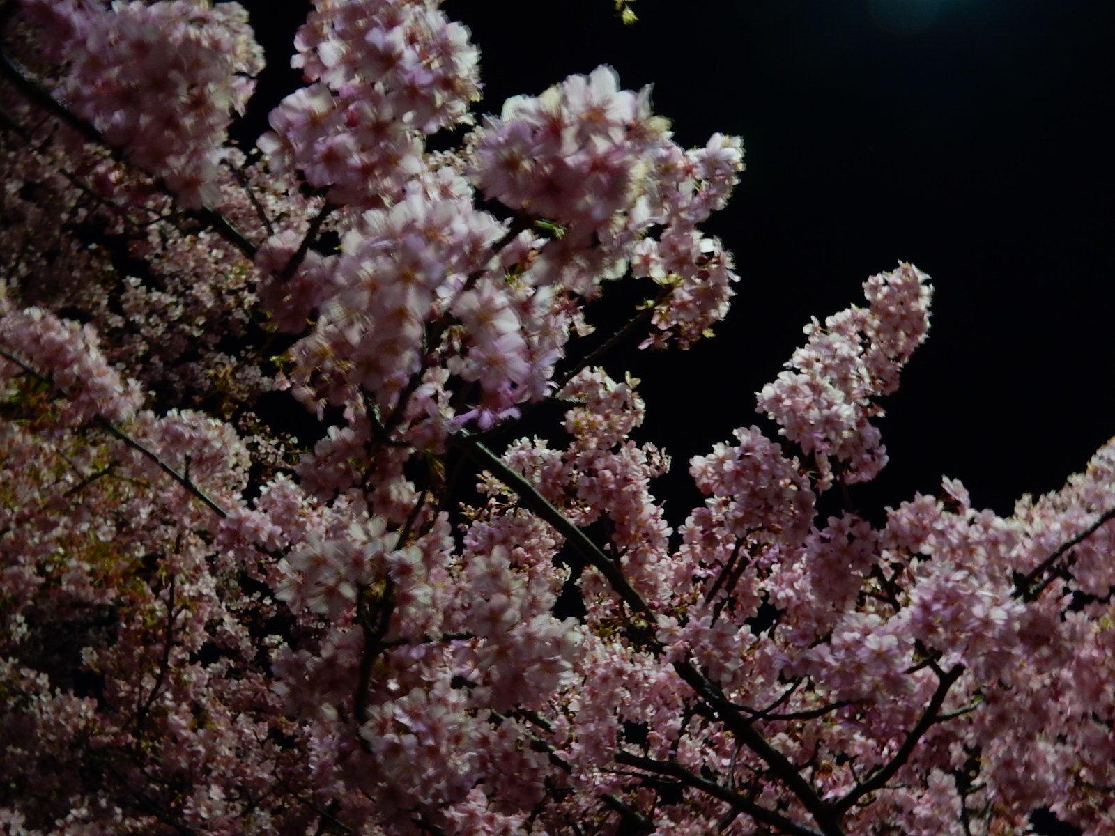 真夜中の満開の河津桜2
