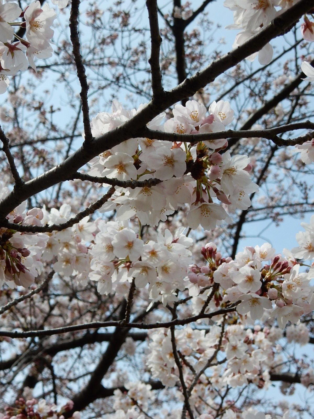 染井吉野の花