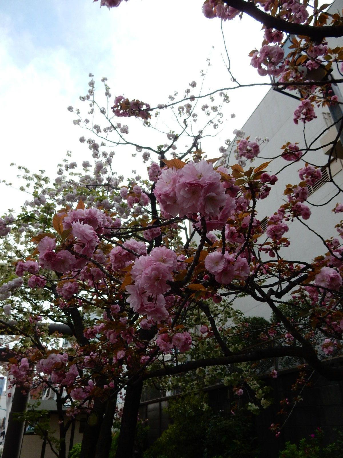 紅白の牡丹桜