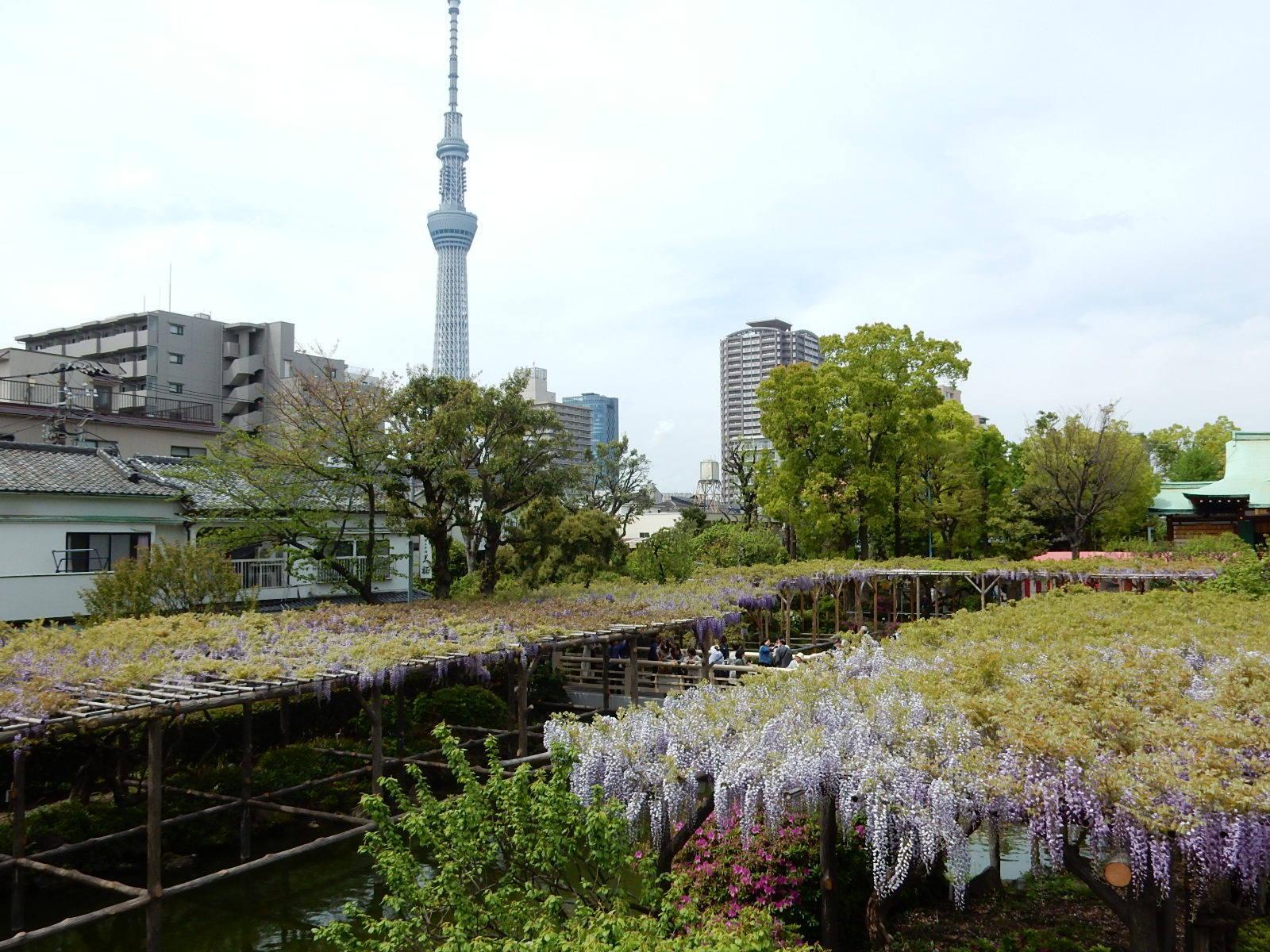 東京スカイツリーと藤棚