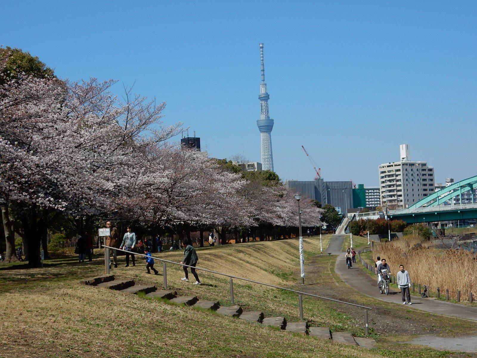 亀戸中央公園河川敷の桜と東京スカイツリー