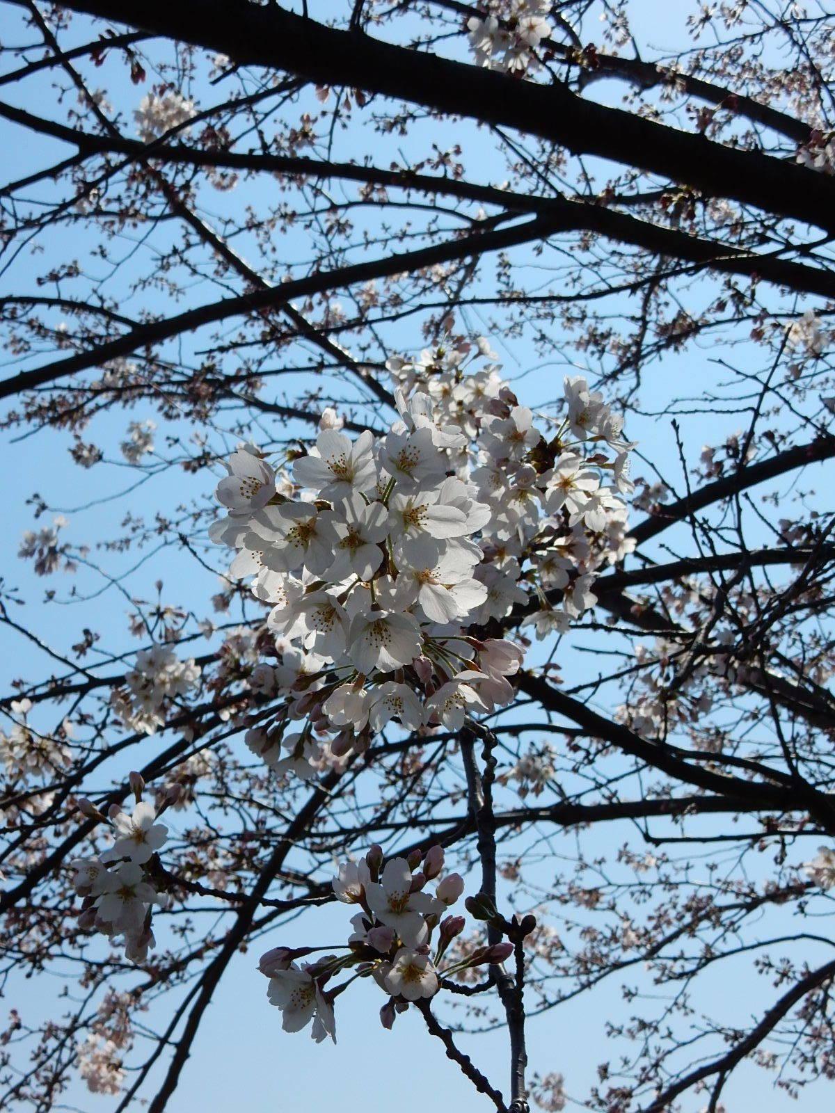 小松川千本桜の近影