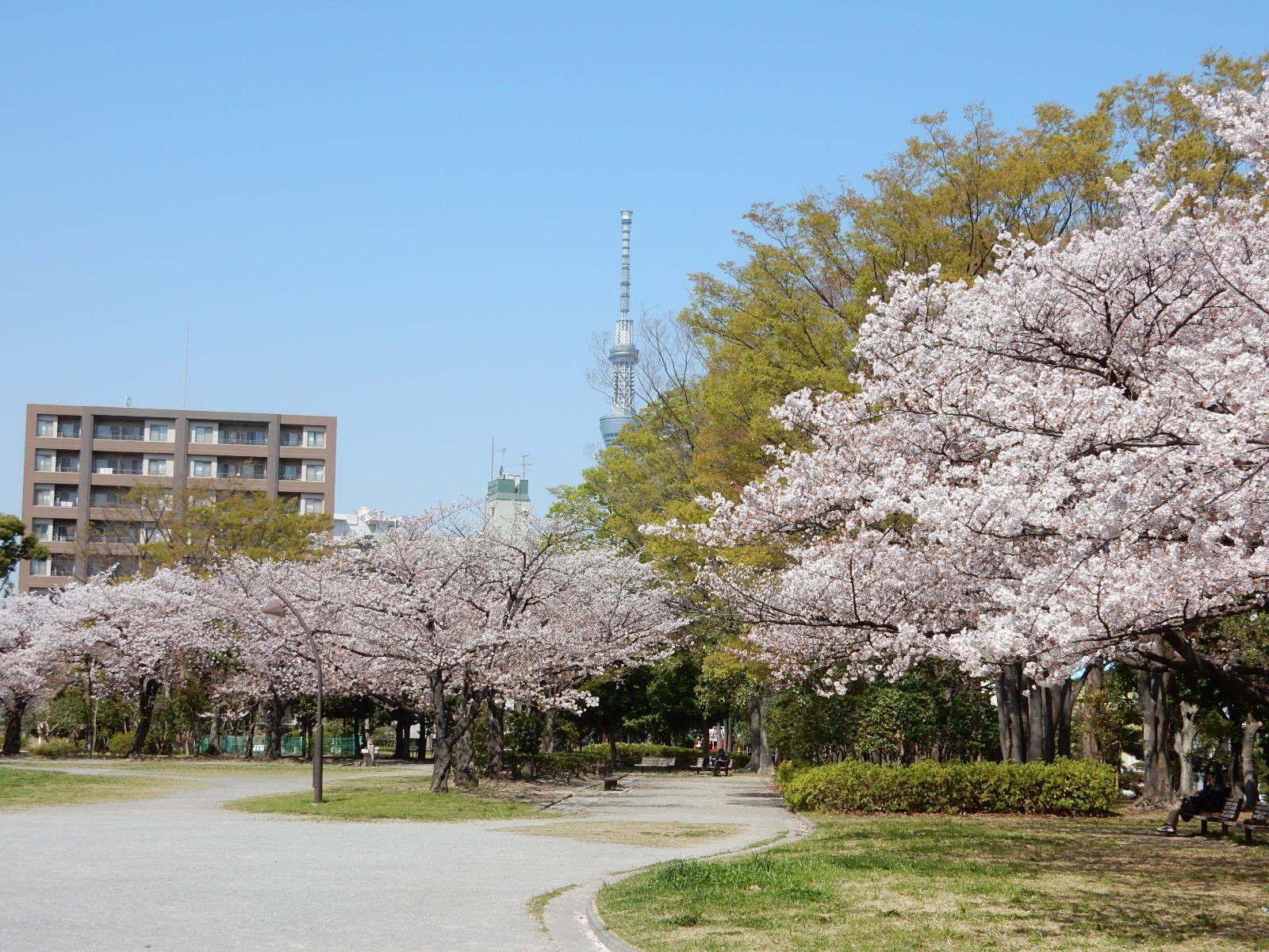 桜と東京スカイツリー