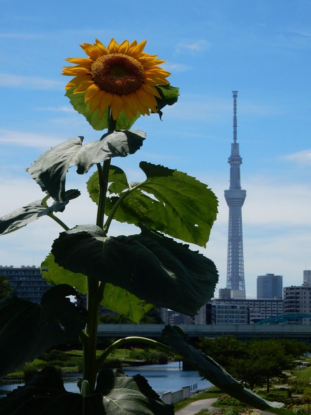 向日葵と東京スカイツリー