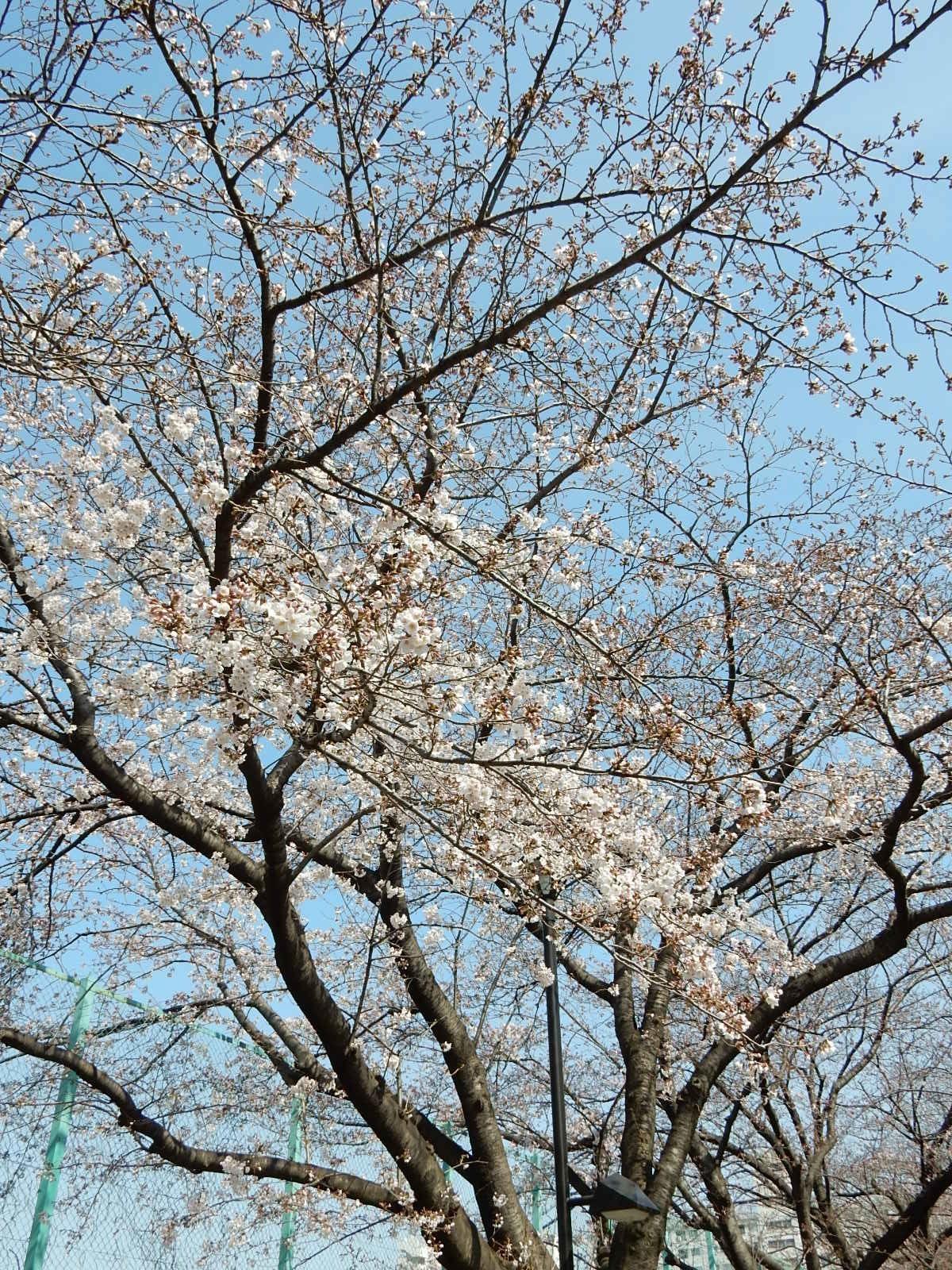 近所の公園の染井吉野