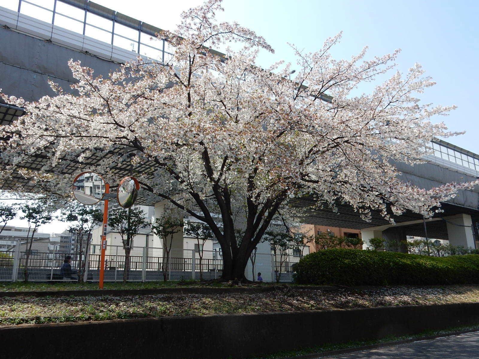 高速道路袂の桜