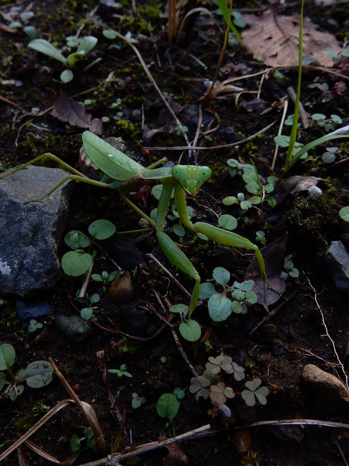 土の上のハラビロカマキリ
