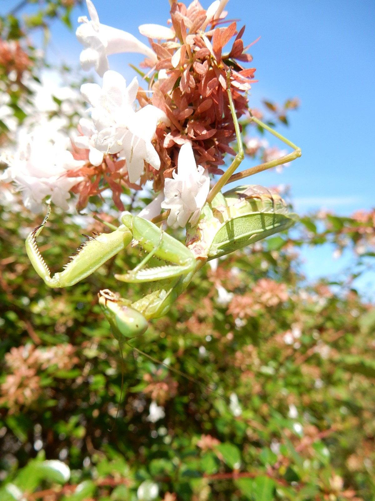 枝にぶら下がるハラビロカマキリ2
