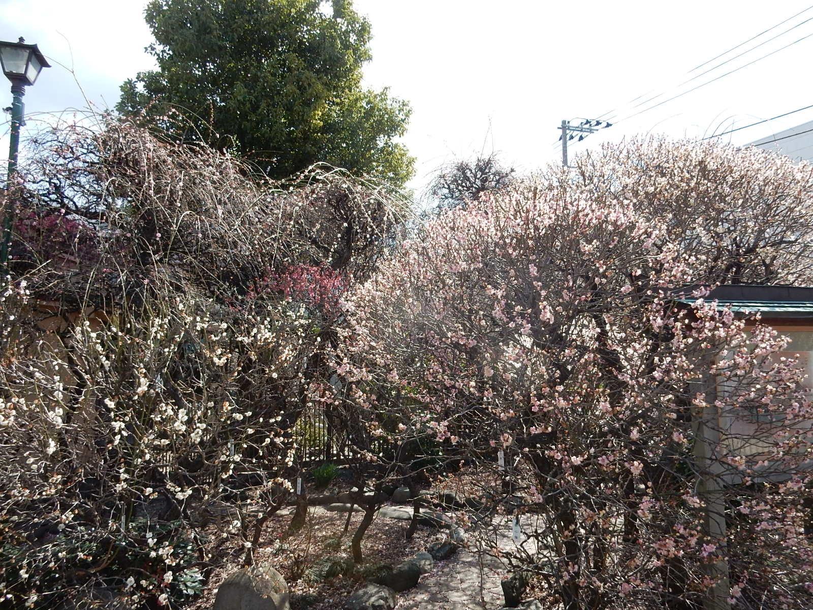 枝垂れ梅に紅白の梅