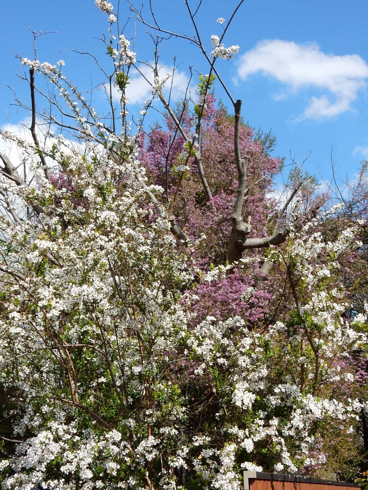 白と紫の花を付けた不明な樹