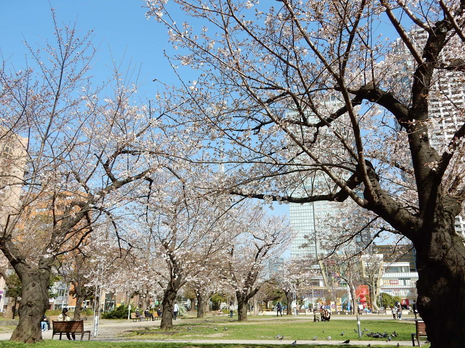 錦糸公園の染井吉野