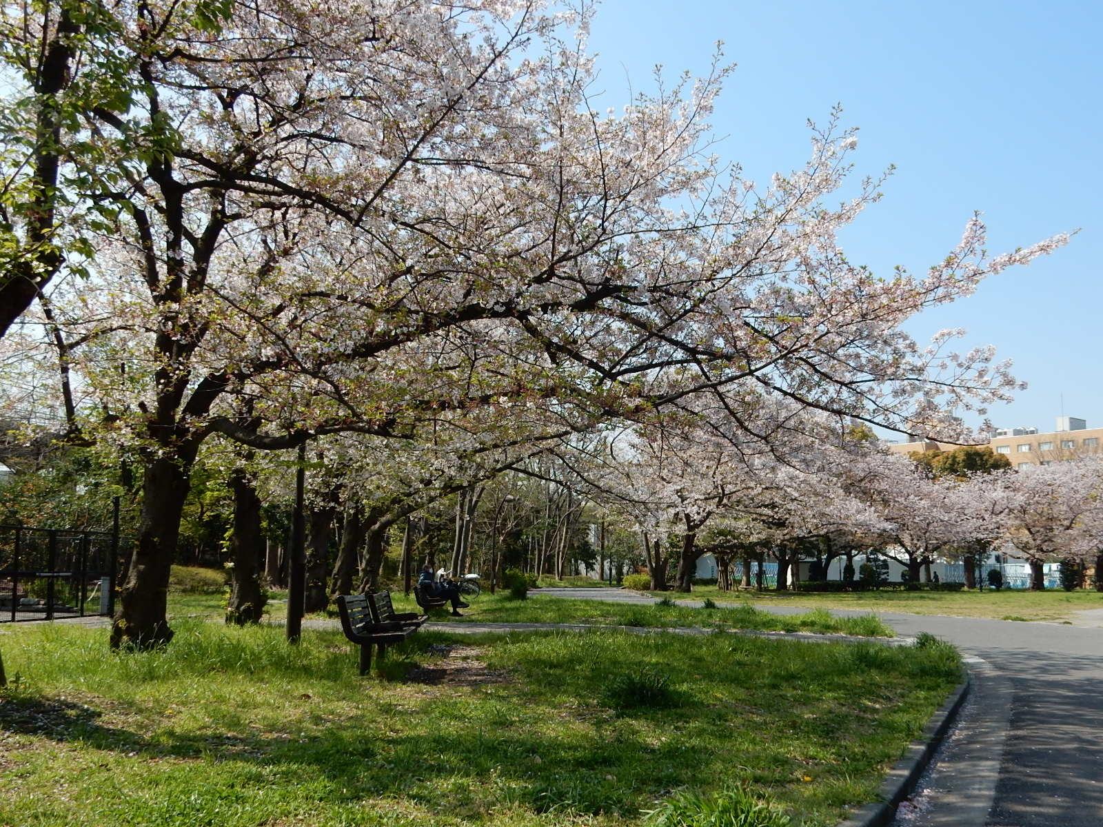 亀戸中央公園A地区の桜並木