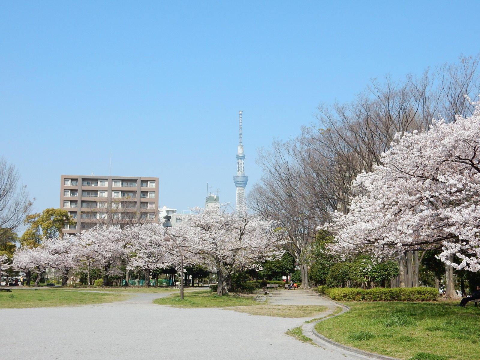 亀戸中央公園A地区の桜と広場と東京スカイツリー