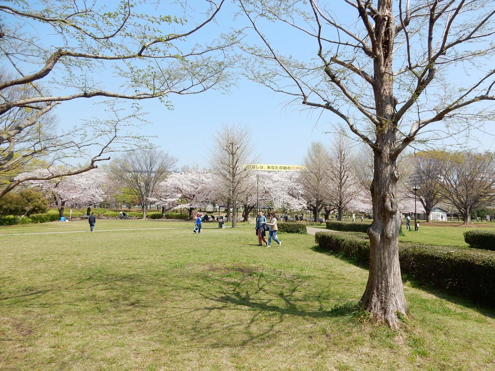 亀戸中央公園B地区の広場と桜