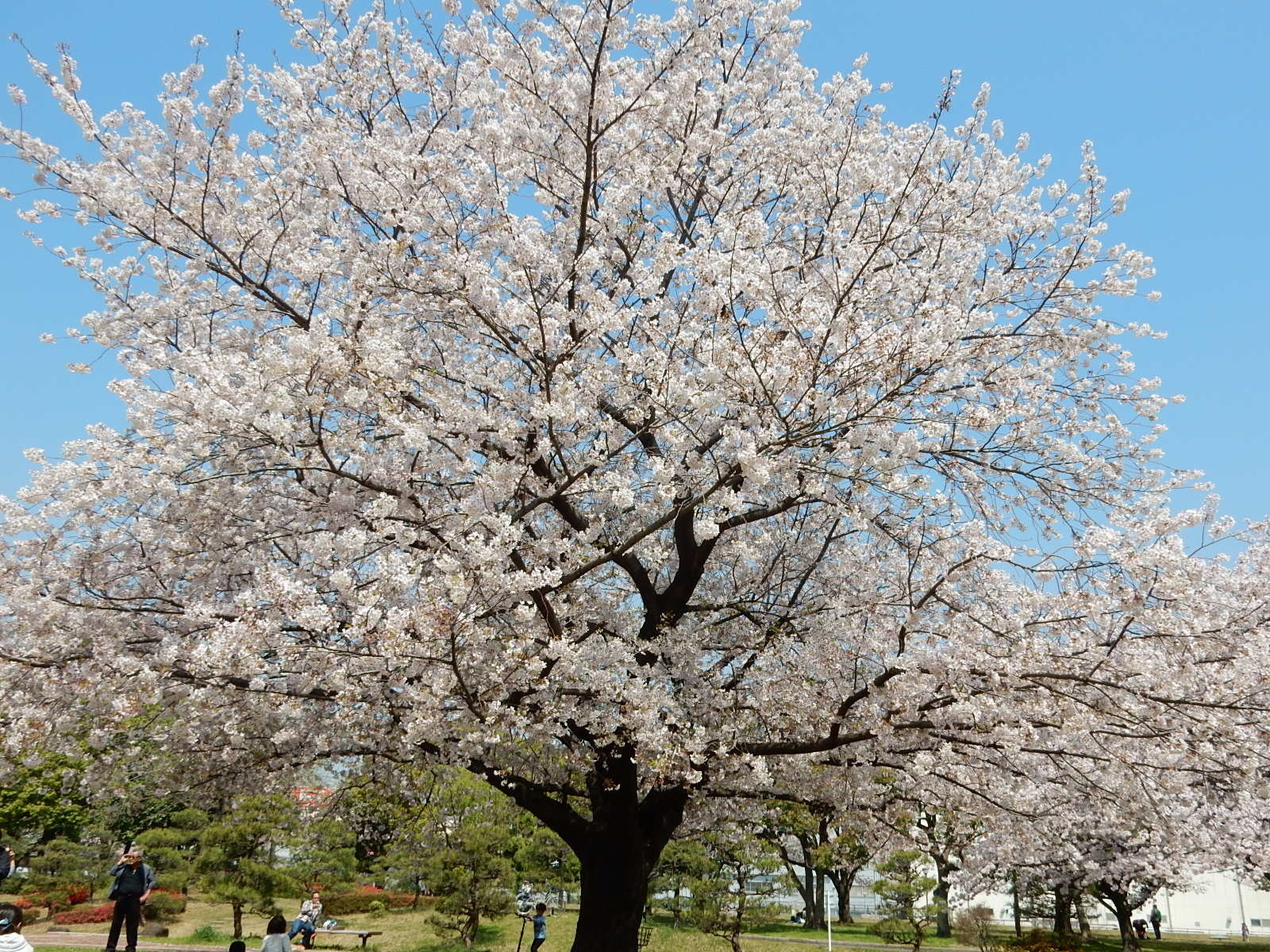 亀戸中央公園B地区の桜