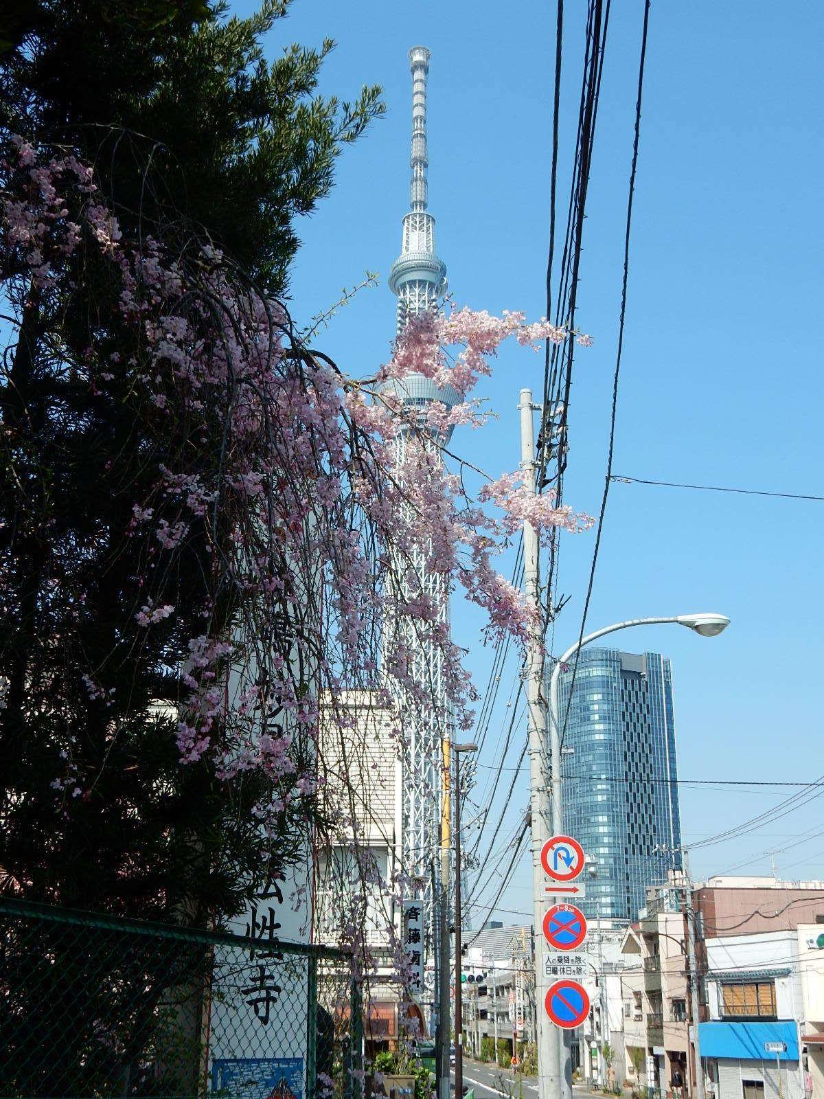 枝垂れ桜と東京スカイツリー