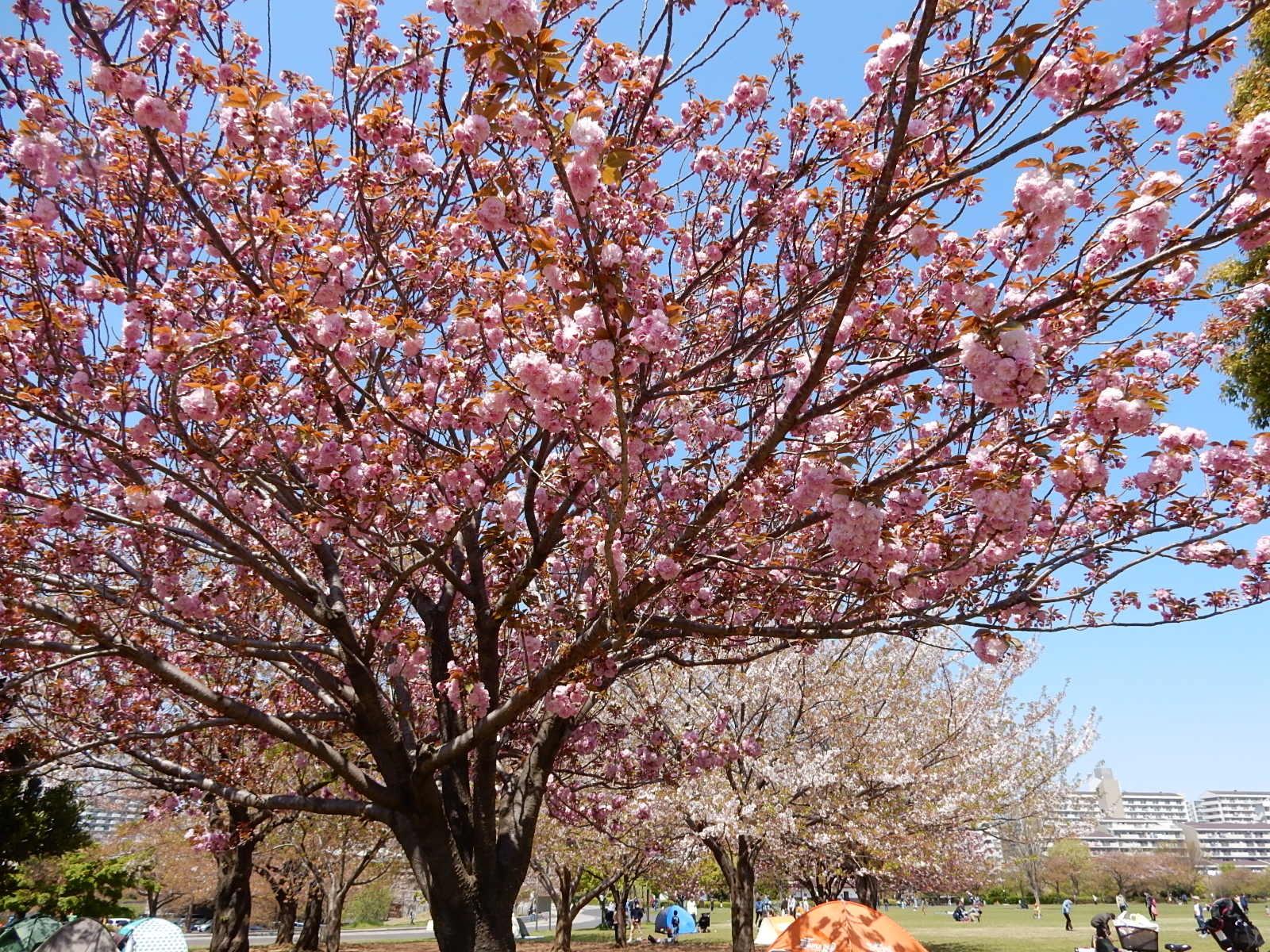 牡丹桜と染井吉野