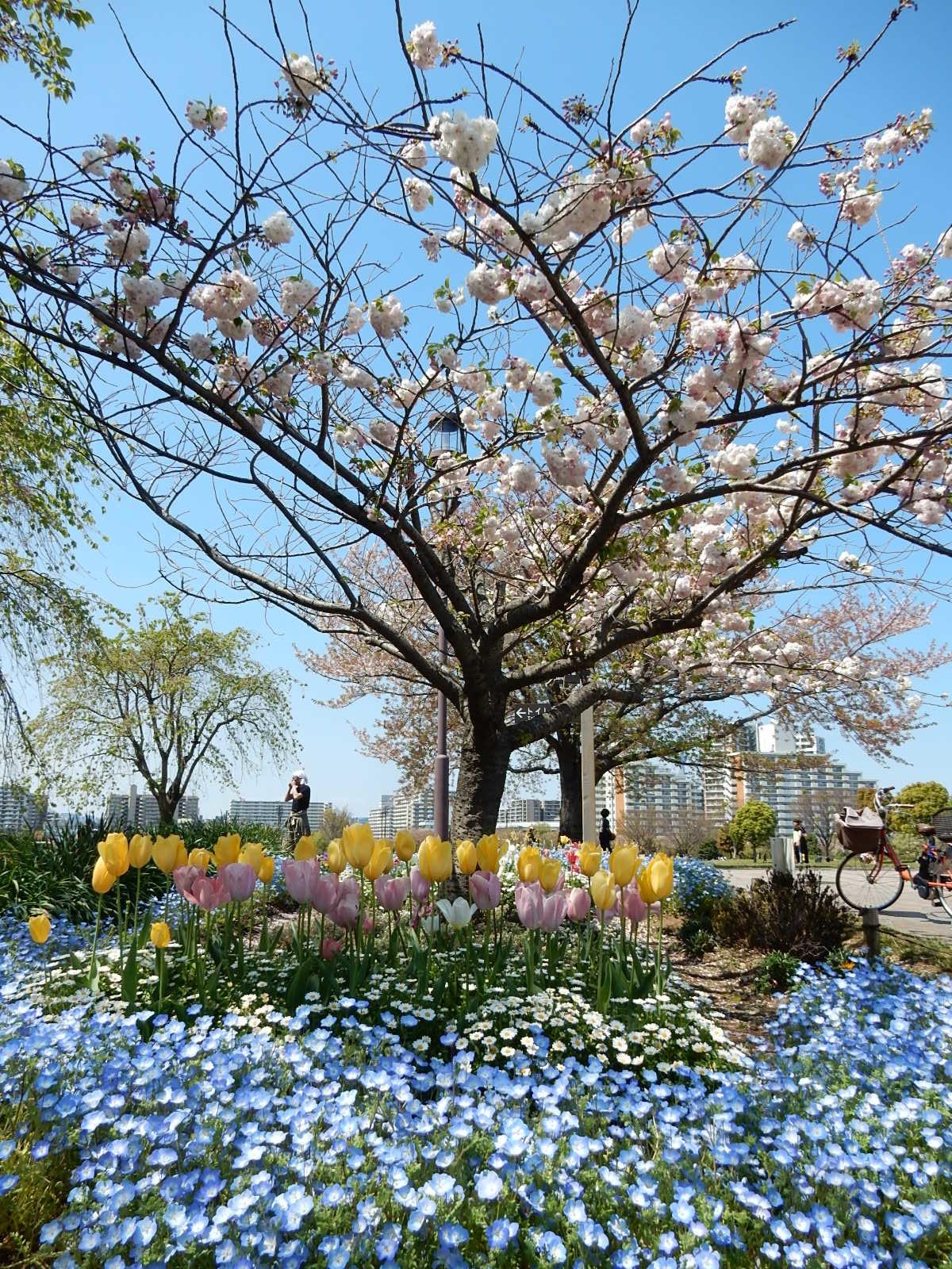 雛菊とネモフィラとチューリップに牡丹桜