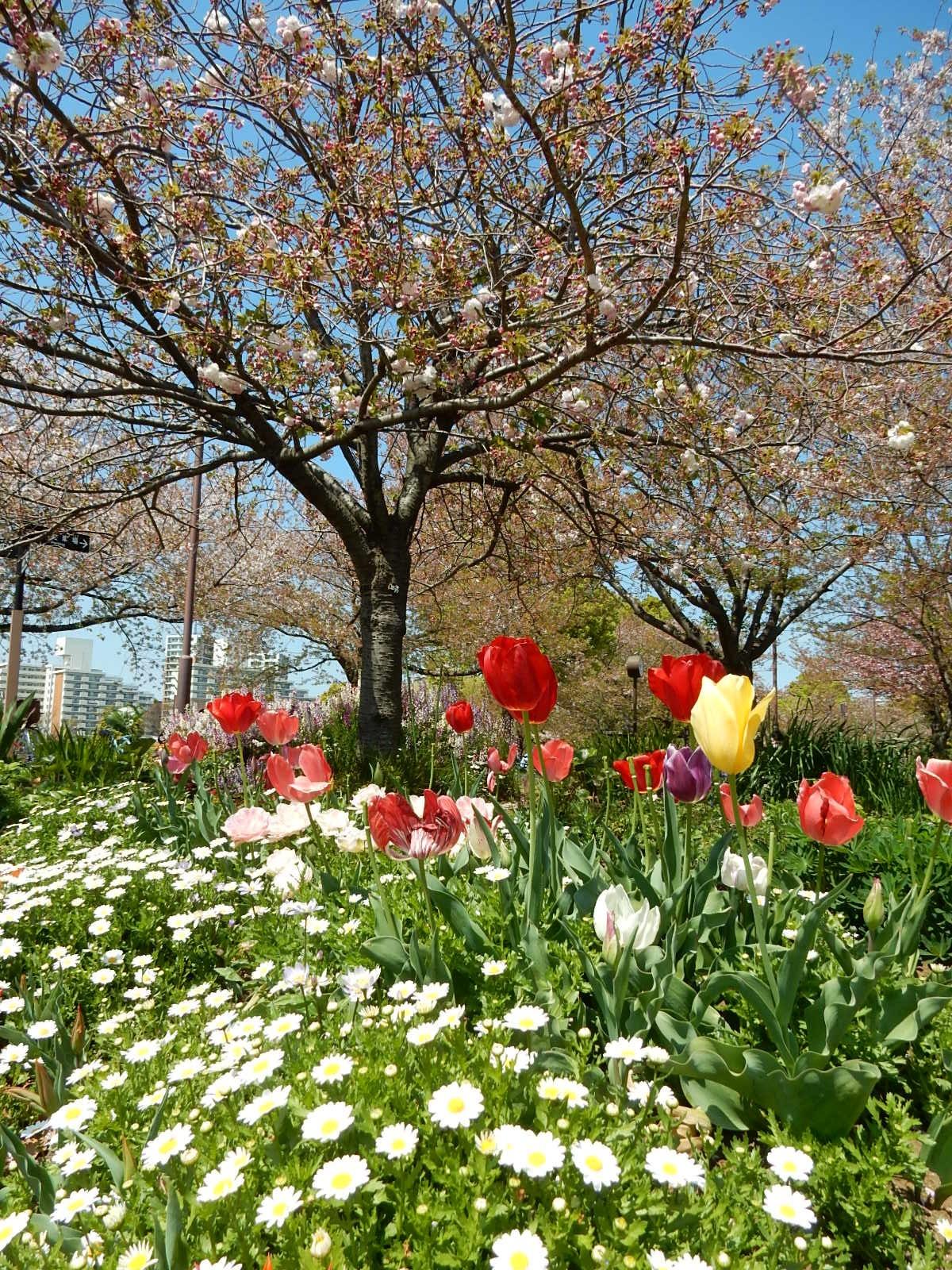 雛菊とチューリップに牡丹桜